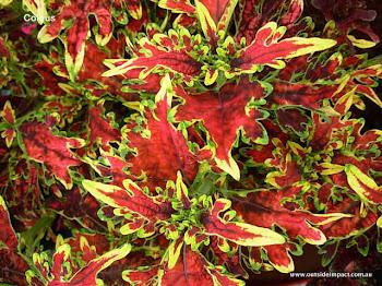 Foliage - Coleus