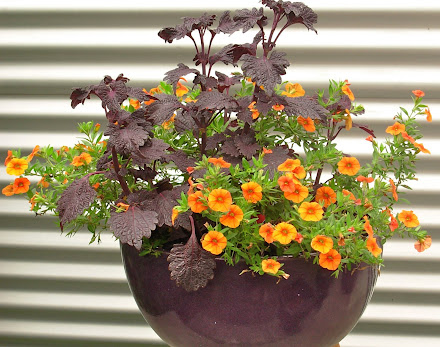 Coleus Black Prince & Calibroachoa Orange Punch