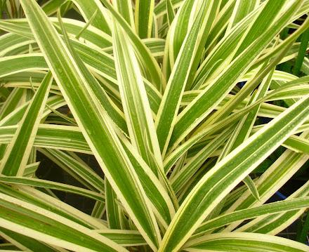 Foliage - Dianella