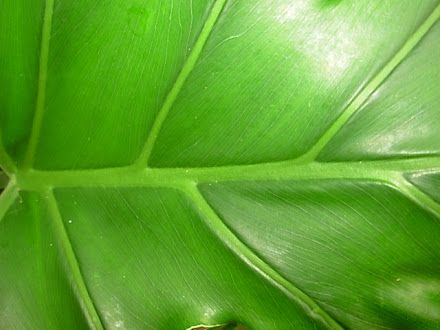 Foliage - Phildendron