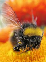 Fuzzy, wuzzy bumbly bee