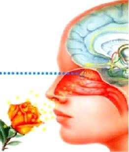 Belajar Biologi Hidung Indera Penciuman