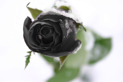 Amazing world black roses are not found in nature for How to make black roses