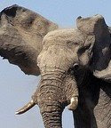 Story's elephant lead - click to go to source