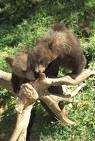Cuccioli di orso bruno