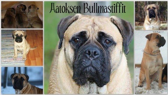 Aatoksen Bullmastiffit