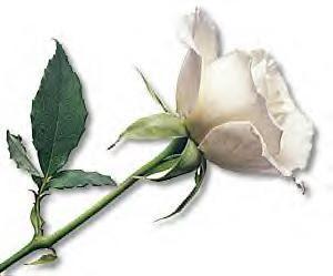 بريد أصدقاء شذرات mothers-day-white-rose.jpg