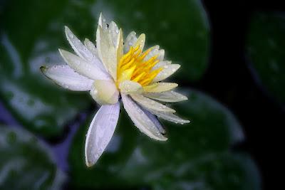 White Lotus in dew