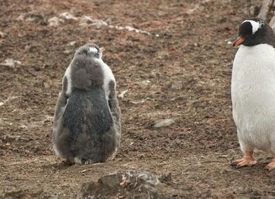 Gentoo_Penguins_Elephant_Island_25