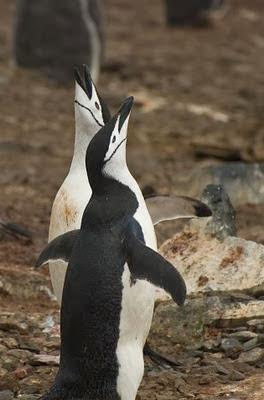 Gentoo_Penguins_Elephant_Island_10
