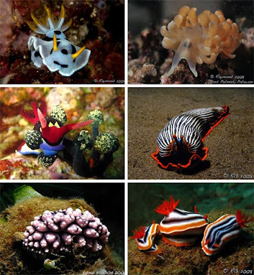 Nudibranch_Amazing_Sea_Slugs_14