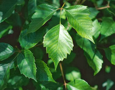 mild poison sumac rash. Treat Poison Ivy