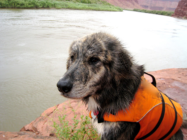 Marley a brindle retriever mix sits on a red rock ledge overlooking the colorado river.  He is wearing an orange lifejacket and looking slightly into the distance with a blue sky behind him