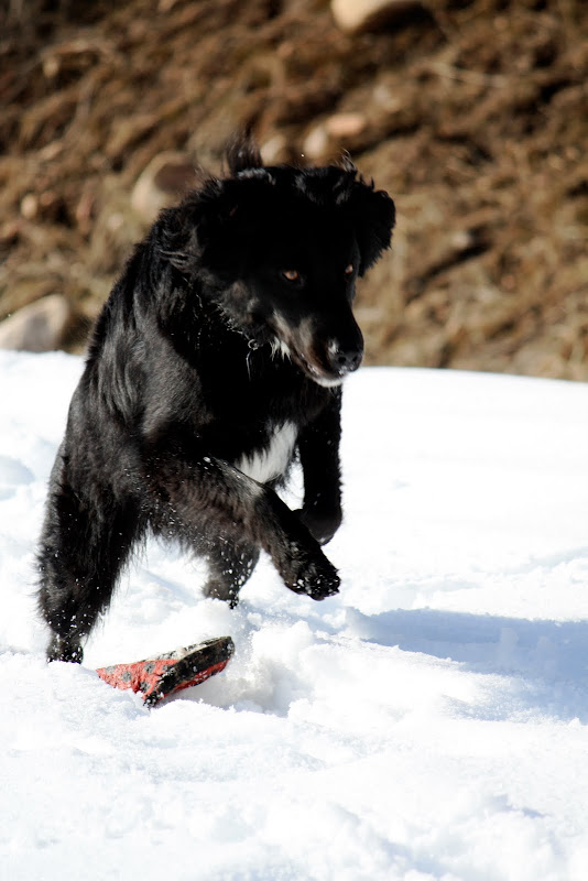 Hugo, a longhaired black dog, jumps high in the air as he is called to come.  His red frisbee is under him on a blanket of snow