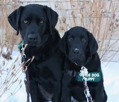 Sterling and Rafferty two black labs, one an adult and one a puppy sit on the snow in front of a stone wall