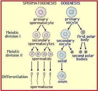 Blogablogo gametogenesis spermatogenesis pada pria 2 oogenesis pada wanita berikut perbandingan spermatogtenesis dan oogenesis ccuart Image collections