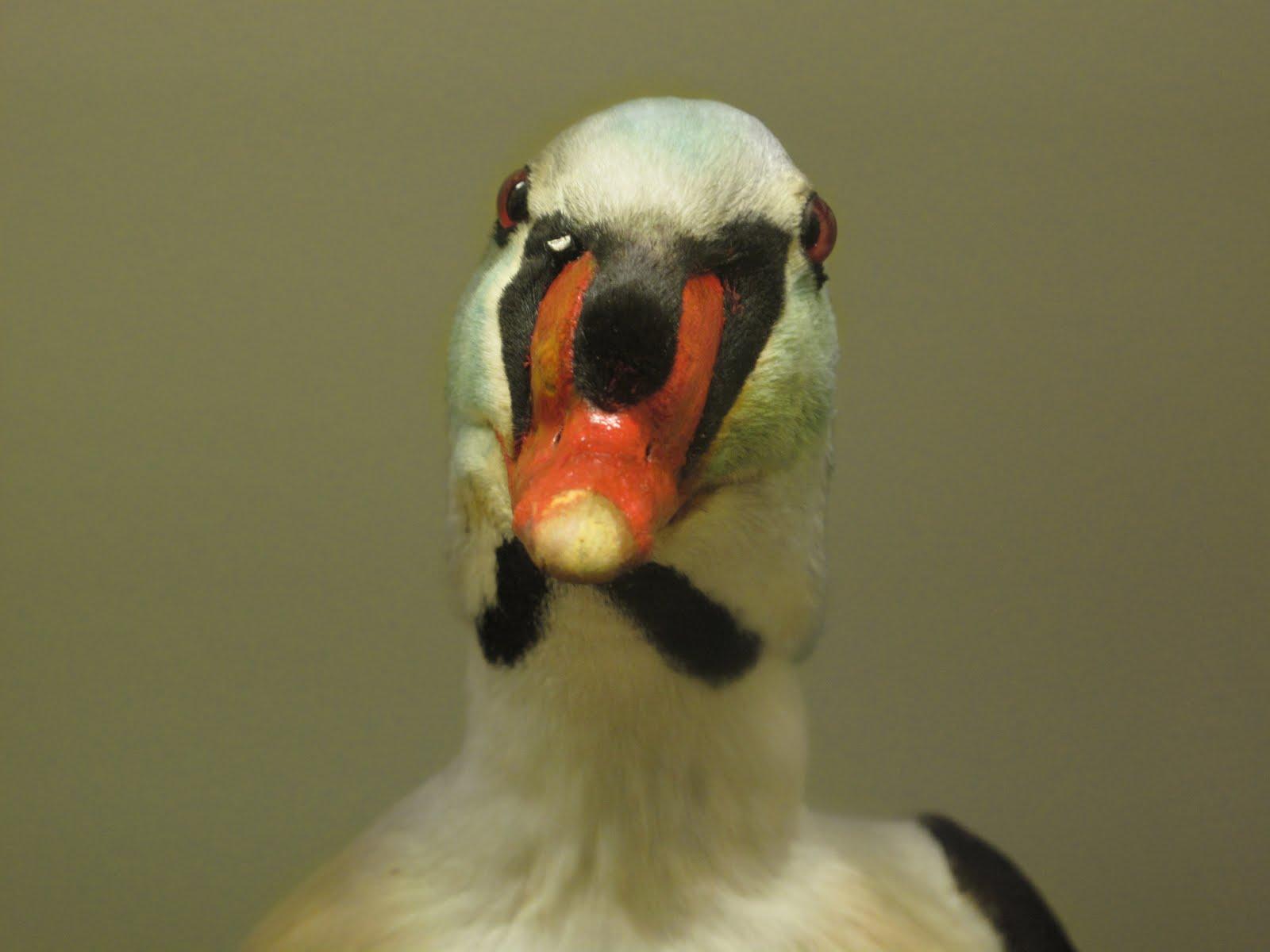 [Duck+Face]