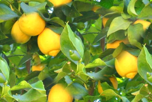 [lemon]