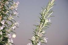luna de romero en flor