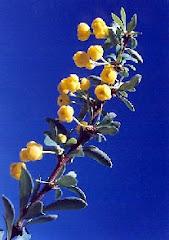 Flor de Calafate o Michay
