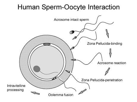 morfologiya-spermatozoidov-uluchshenie