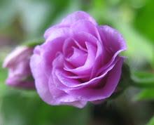 Rosa namnlaus rosenknopp