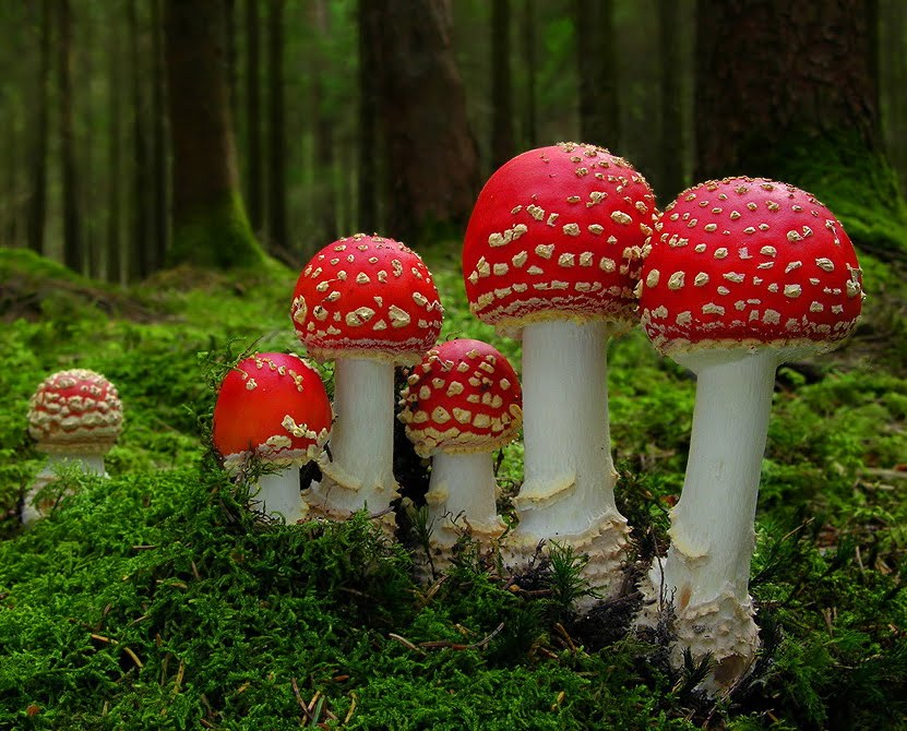 As Clich Any Other Subject Related To Toxicology I Present You This Lady Mushroom Amanita Muscaria Clap White Circles Spotted Red