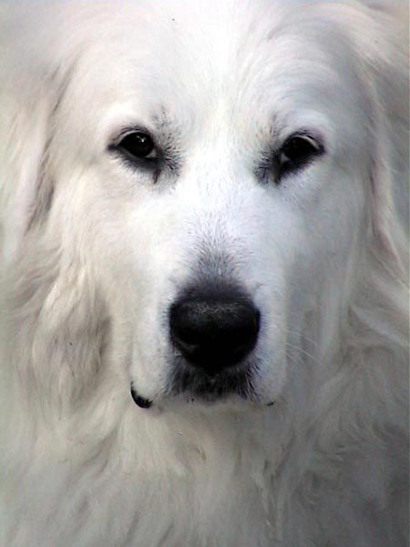 Great Pyrenees dog breed infromation, pictures, recognition etc