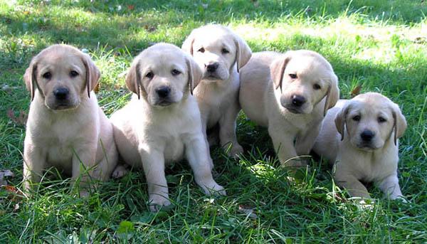Labrador Puppies For Sale In Colorado. Images labrador-puppies-for-sale. Powered by Google