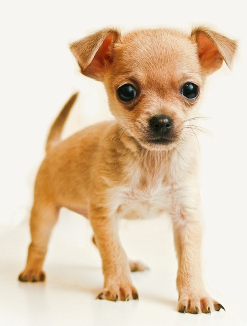 Chihuahua Top Smallest Breeds of Dogs