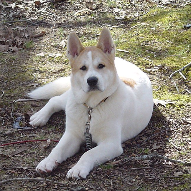 Akita Dog Breeds