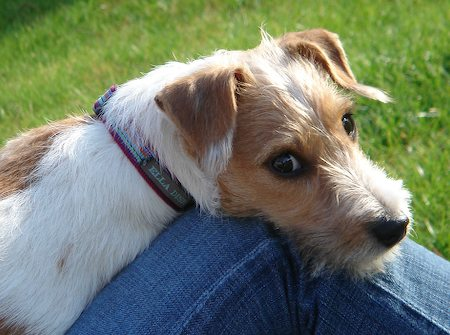 Kelpie Breeders Dog Breed Galler...