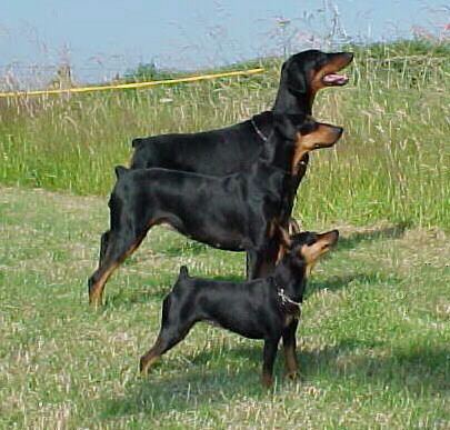 Miniature Pinscher Dog Puppy Miniature Pinscher Small Dog