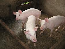 Alternativas de Alimentacion en Cerdos