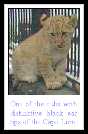 Cape Lion Cub