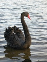 A special friend we made with this beautiful black swan