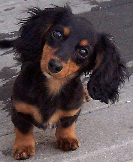This is a long hair daschund and daddy said no puppies.