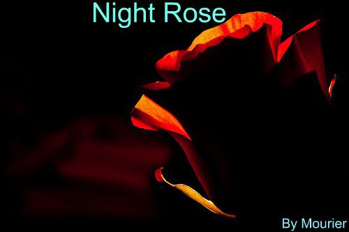 Night Rose