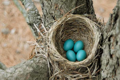 nest with robin eggs by Jeanne Selep Imaging