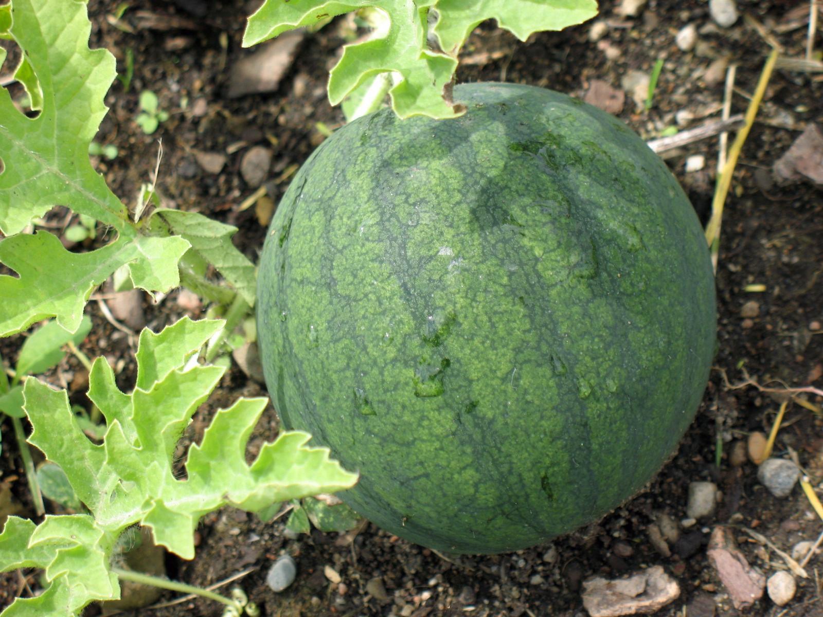 - Quand cueillir un melon ...