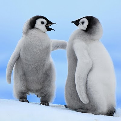 download free wallpapers for iPad Baby Penguins