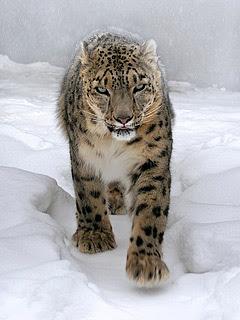 Snježni leopard download besplatne pozadine slike za mobitele