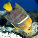 Žutkasta riba download besplatne slike pozadine za mobitele