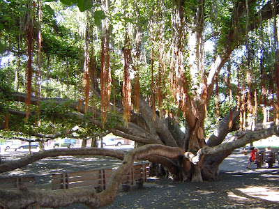 banyan tree ficus sacred strangler benghalensis