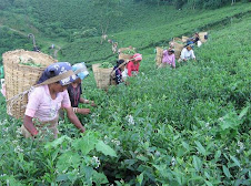 Picking Tealeaf