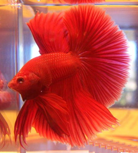 Dark red betta fish - photo#4