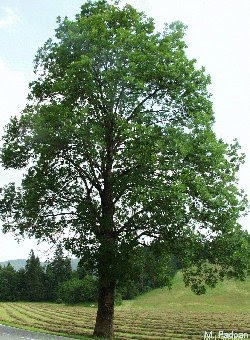Classificazioni dei legnami classificazione dei legnami for Piante da giardino sempreverdi alto fusto