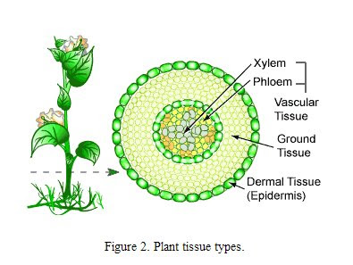 what are the types of plant tissues