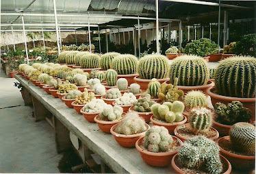 Comelnya kaktus
