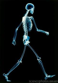 Our miniature skeleton model